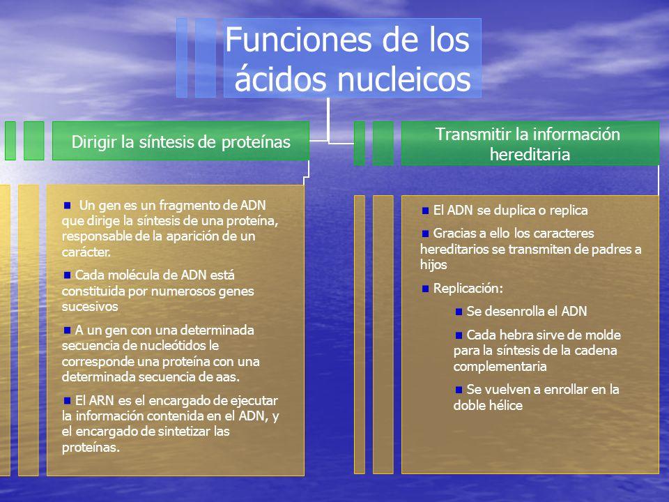 Funciones de los ácidos nucleicos Dirigir la síntesis de proteínas Transmitir la información hereditaria Un gen es un fragmento de ADN que dirige la síntesis de una proteína, responsable de la aparición de un carácter.