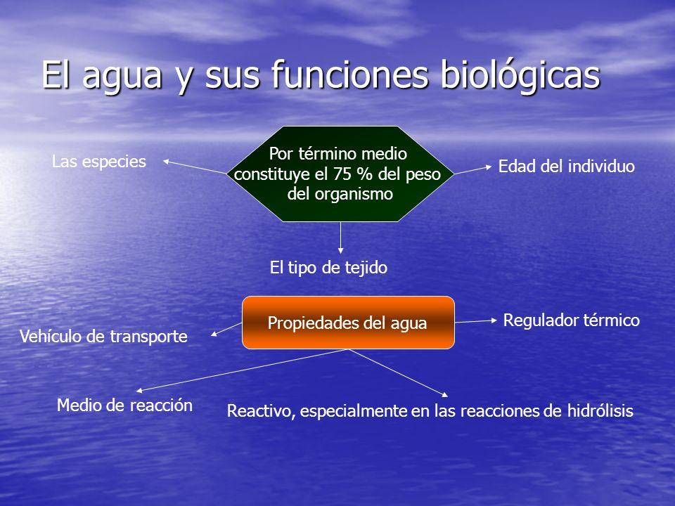 El agua y sus funciones biológicas Por término medio constituye el 75 % del peso del organismo Las especies El tipo de tejido Edad del individuo Propiedades del agua Vehículo de transporte Medio de reacción Reactivo, especialmente en las reacciones de hidrólisis Regulador térmico