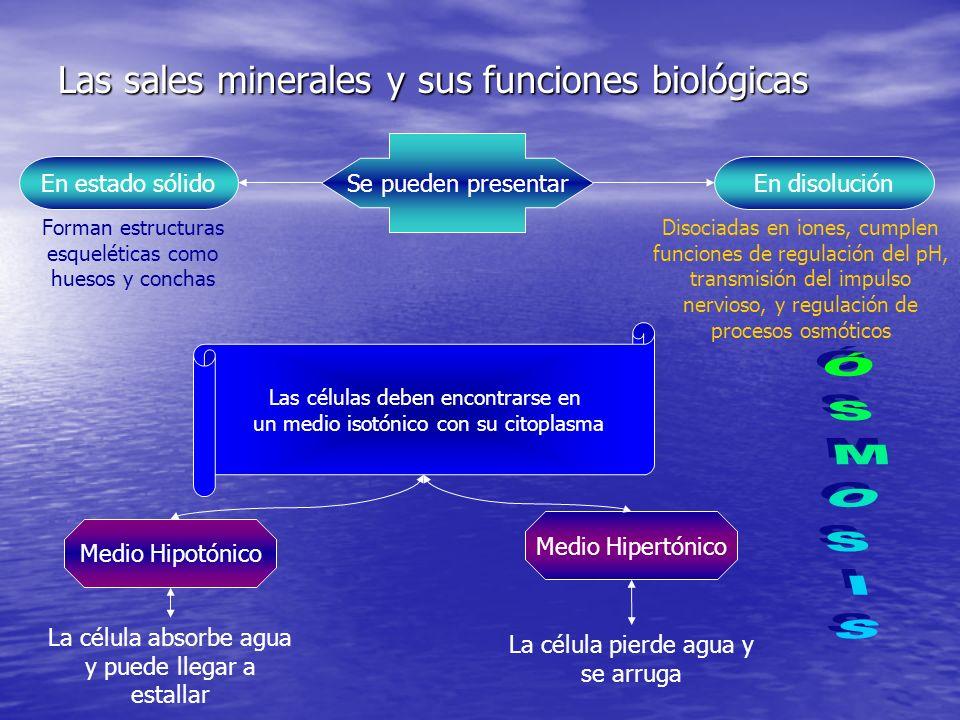 Las sales minerales y sus funciones biológicas Se pueden presentar En estado sólido Forman estructuras esqueléticas como huesos y conchas En disolución Disociadas en iones, cumplen funciones de regulación del pH, transmisión del impulso nervioso, y regulación de procesos osmóticos Las células deben encontrarse en un medio isotónico con su citoplasma Medio Hipotónico La célula absorbe agua y puede llegar a estallar Medio Hipertónico La célula pierde agua y se arruga