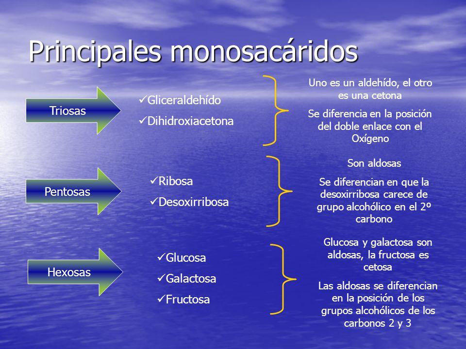 Principales monosacáridos Triosas Gliceraldehído Dihidroxiacetona Uno es un aldehído, el otro es una cetona Se diferencia en la posición del doble enlace con el Oxígeno Pentosas Ribosa Desoxirribosa Son aldosas Se diferencian en que la desoxirribosa carece de grupo alcohólico en el 2º carbono Hexosas Glucosa Galactosa Fructosa Glucosa y galactosa son aldosas, la fructosa es cetosa Las aldosas se diferencian en la posición de los grupos alcohólicos de los carbonos 2 y 3