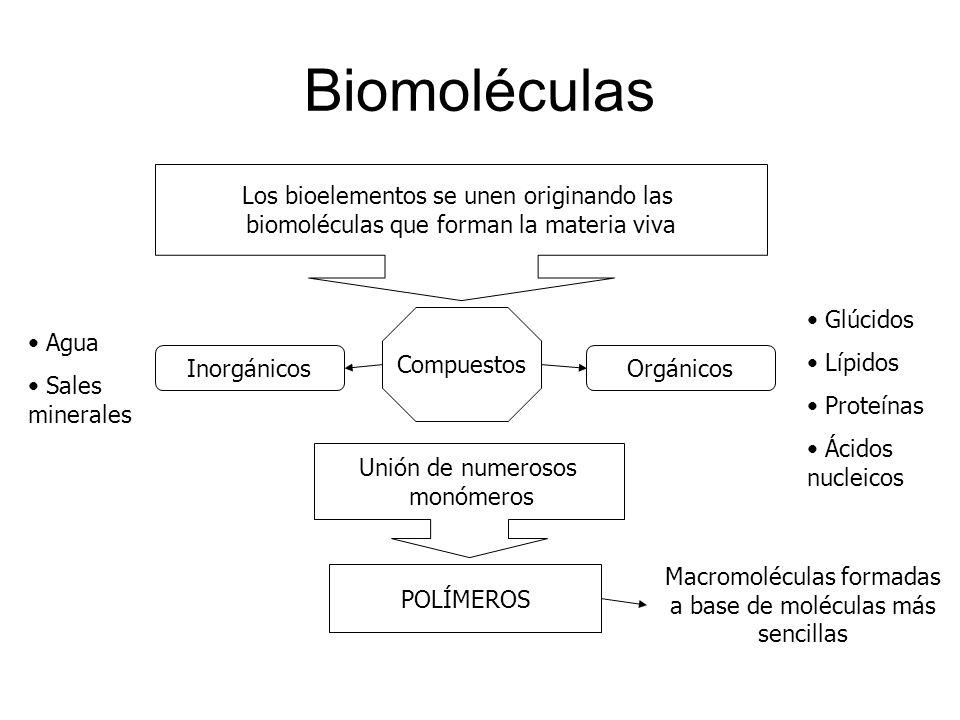 Biomoléculas Los bioelementos se unen originando las biomoléculas que forman la materia viva Compuestos InorgánicosOrgánicos Agua Sales minerales Glúc
