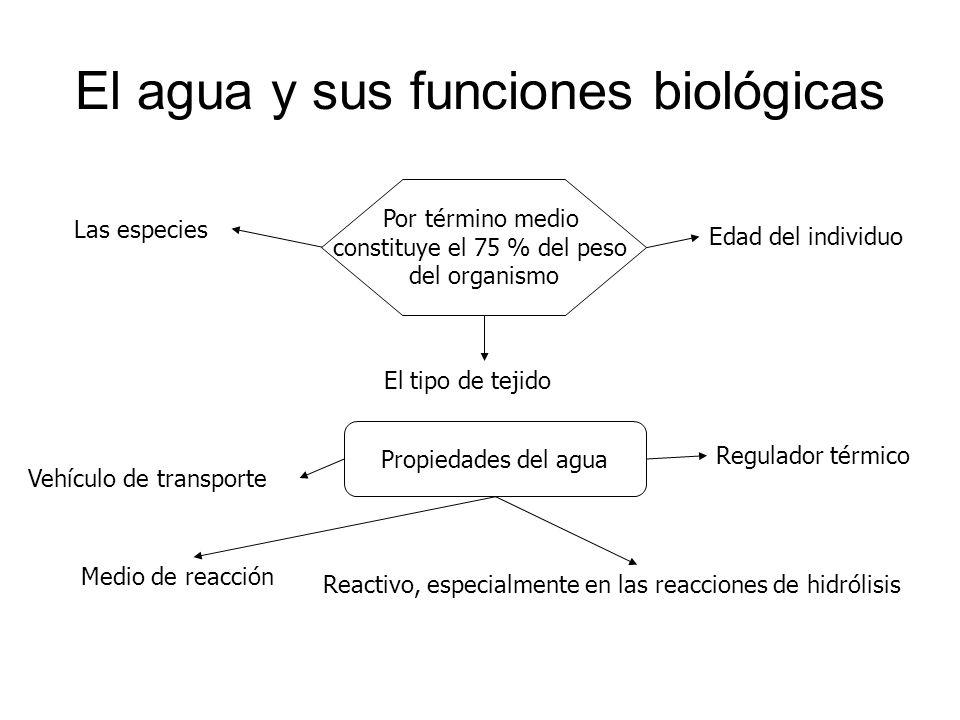 El agua y sus funciones biológicas Por término medio constituye el 75 % del peso del organismo Las especies El tipo de tejido Edad del individuo Propi