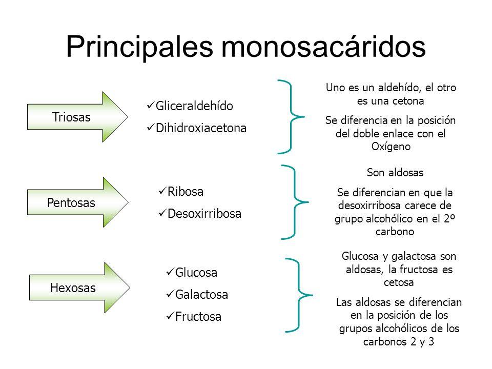 Principales monosacáridos Triosas Gliceraldehído Dihidroxiacetona Uno es un aldehído, el otro es una cetona Se diferencia en la posición del doble enl