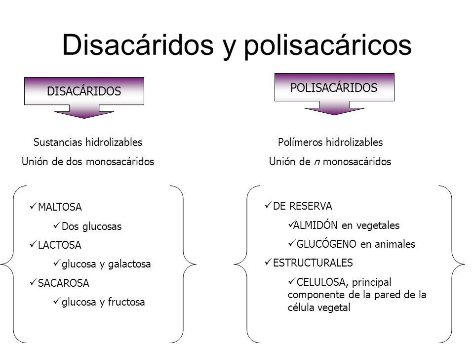 Disacáridos y polisacáricos DISACÁRIDOS Sustancias hidrolizables Unión de dos monosacáridos MALTOSA Dos glucosas LACTOSA glucosa y galactosa SACAROSA