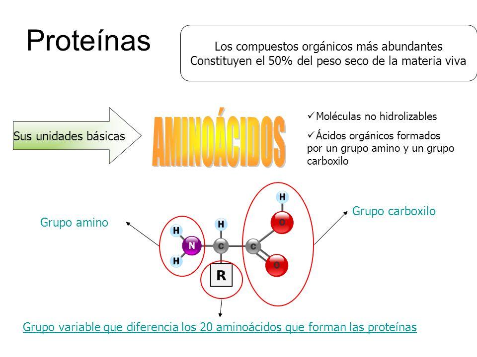 Proteínas Los compuestos orgánicos más abundantes Constituyen el 50% del peso seco de la materia viva Sus unidades básicas Moléculas no hidrolizables