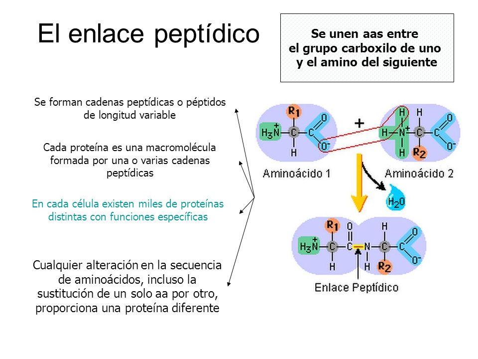El enlace peptídico Se unen aas entre el grupo carboxilo de uno y el amino del siguiente Se forman cadenas peptídicas o péptidos de longitud variable