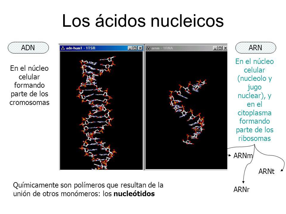 Los ácidos nucleicos ADNARN En el núcleo celular formando parte de los cromosomas En el núcleo celular (nucleolo y jugo nuclear), y en el citoplasma f