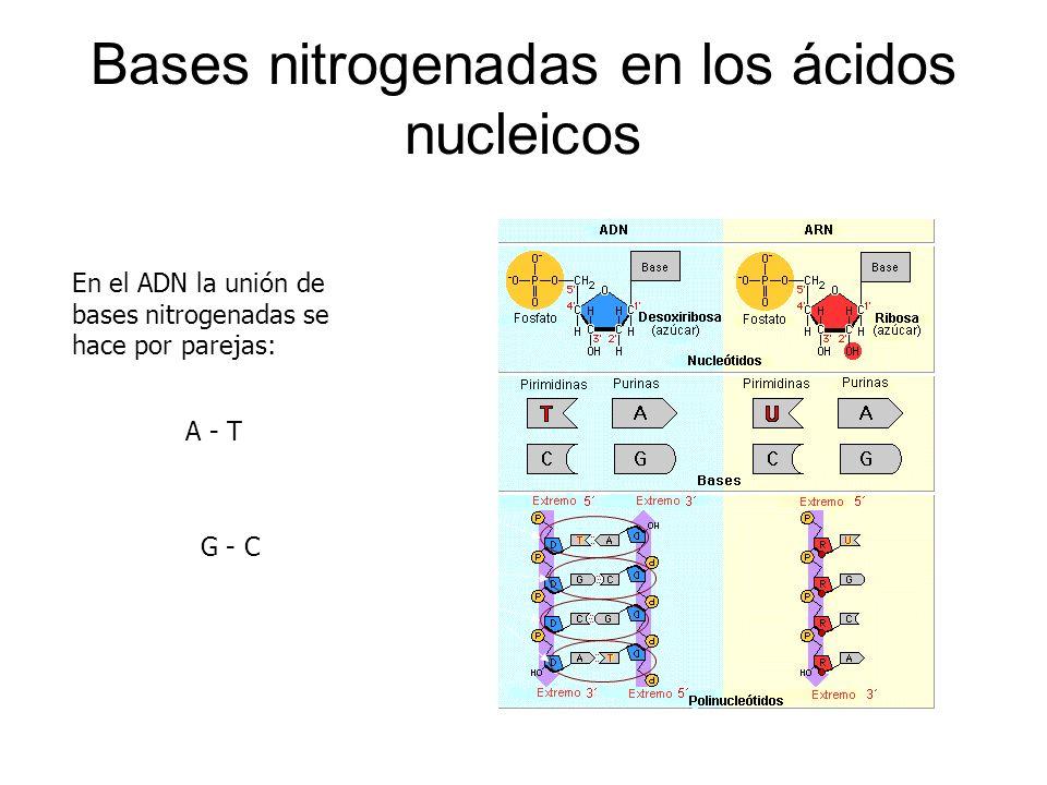 Bases nitrogenadas en los ácidos nucleicos En el ADN la unión de bases nitrogenadas se hace por parejas: A - T G - C