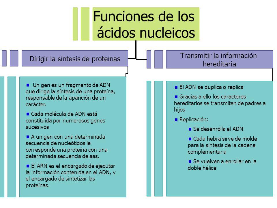 Funciones de los ácidos nucleicos Dirigir la síntesis de proteínas Transmitir la información hereditaria Un gen es un fragmento de ADN que dirige la s