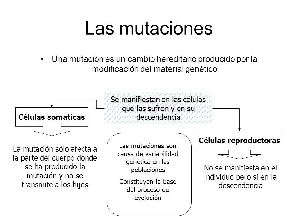 Las mutaciones Una mutación es un cambio hereditario producido por la modificación del material genético SSSS eeee m m m m aaaa nnnn iiii ffff iiii ee