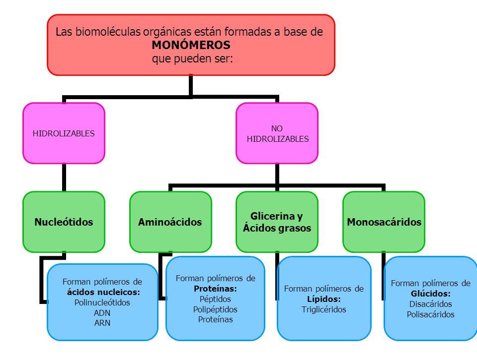 Las biomoléculas orgánicas están formadas a base de MONÓMEROS que pueden ser: HIDROLIZABLES Nucleótidos Forman polímeros de ácidos nucleicos: Polinucl