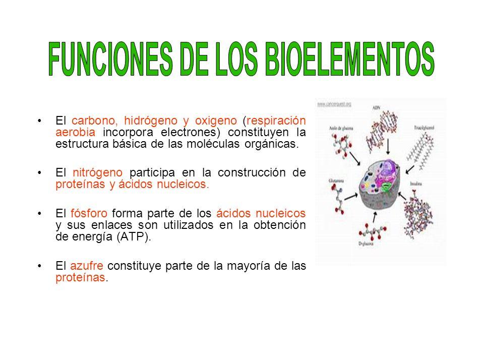 El carbono, hidrógeno y oxigeno (respiración aerobia incorpora electrones) constituyen la estructura básica de las moléculas orgánicas. El nitrógeno p