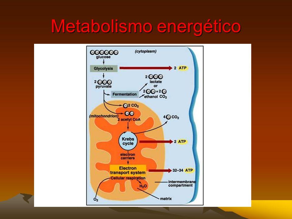 El metabolismo aeróbico surgió en respuesta a la crisis de oxígeno La acumulación de oxígeno en la atmósfera de la tierra primitiva exterminó probable