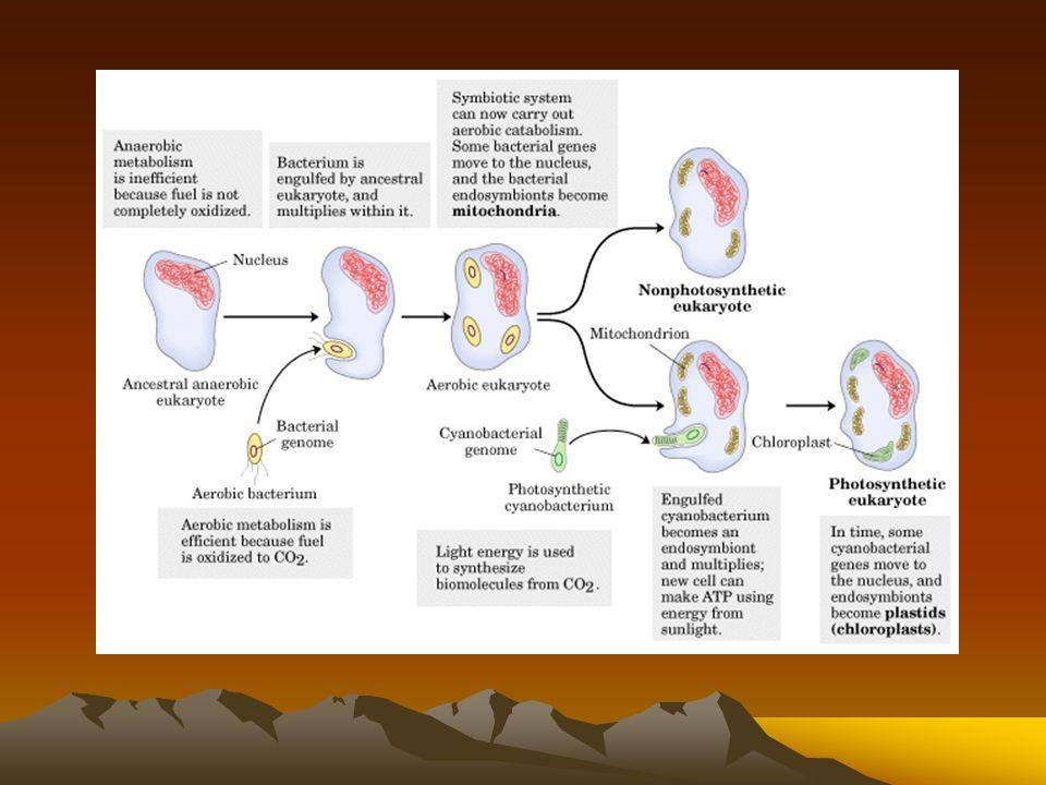 Las mitocondrias y los cloroplastos pudieron haber surgido a partir de bacterias englobadas La hipótesis de los endosimbiotas, defendida principalment