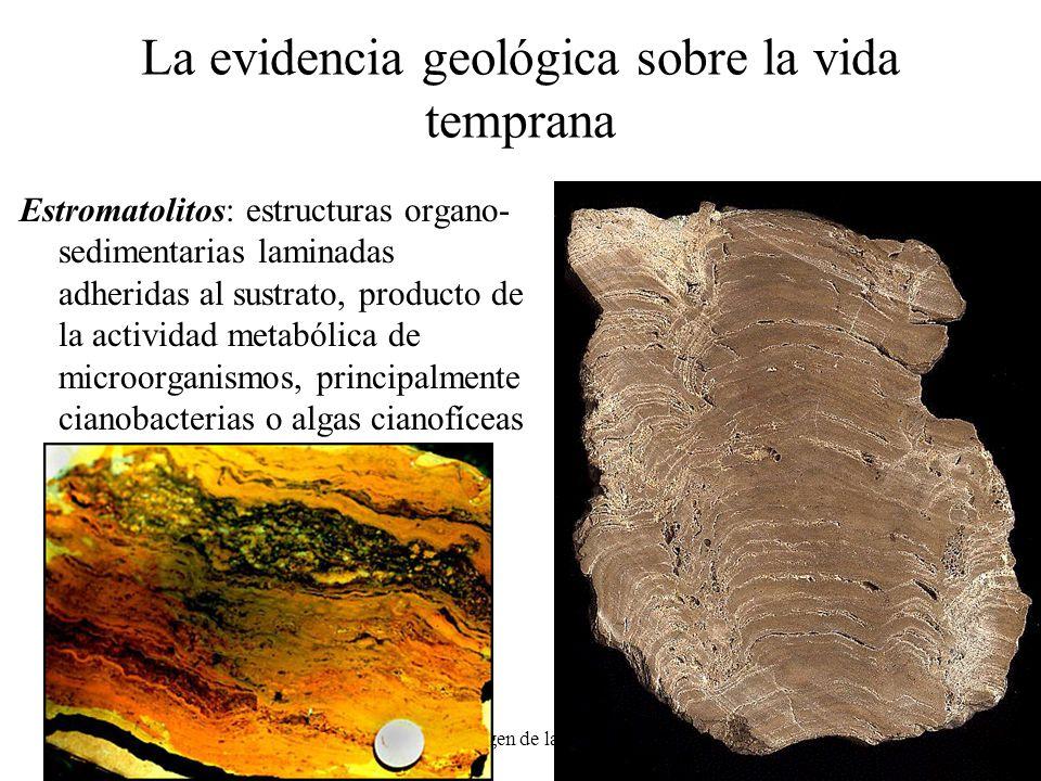 eras El origen de la vida7 La evidencia geológica sobre la vida temprana Estromatolitos: estructuras organo- sedimentarias laminadas adheridas al sust
