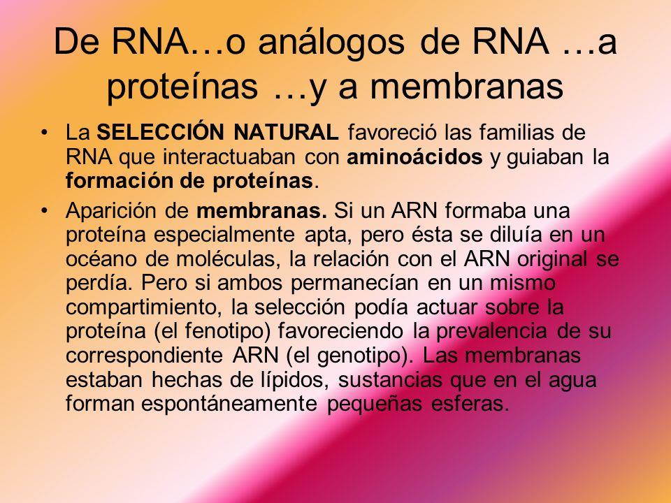 De RNA…o análogos de RNA …a proteínas …y a membranas La SELECCIÓN NATURAL favoreció las familias de RNA que interactuaban con aminoácidos y guiaban la formación de proteínas.