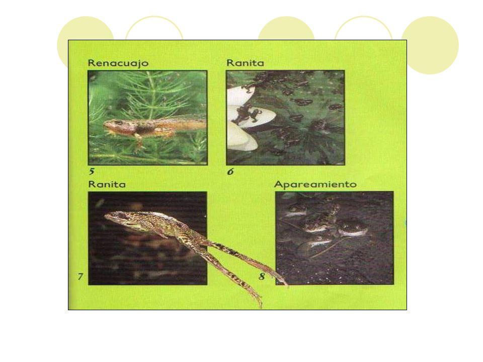 Identifica las etapas del ciclo de la rana y anota detalles importantes de cada etapa