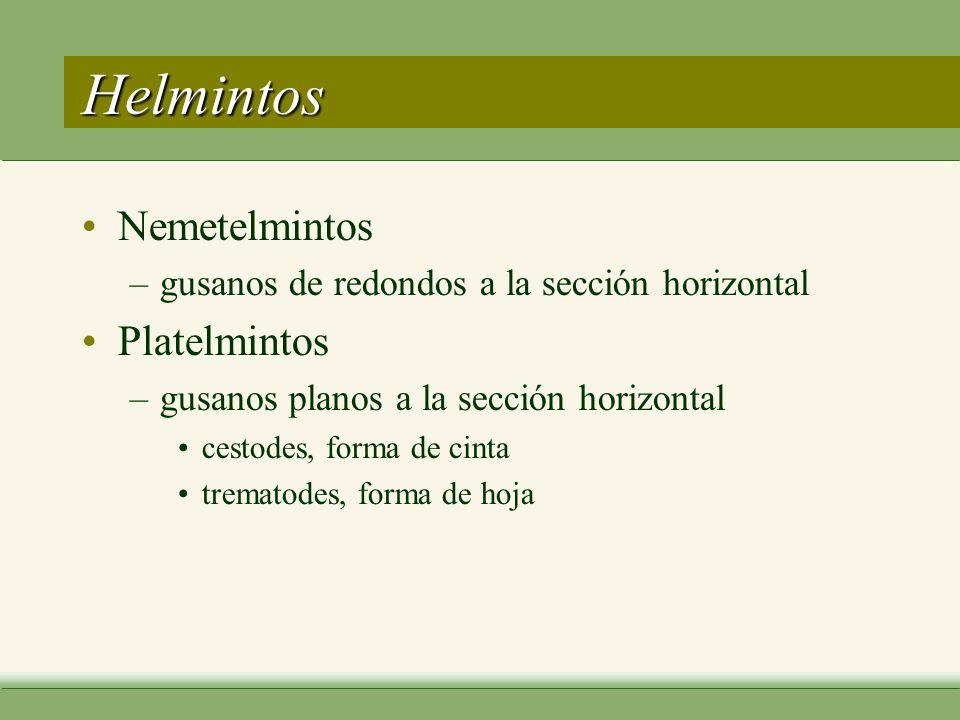 Helmintos Nemetelmintos –gusanos de redondos a la sección horizontal Platelmintos –gusanos planos a la sección horizontal cestodes, forma de cinta trematodes, forma de hoja