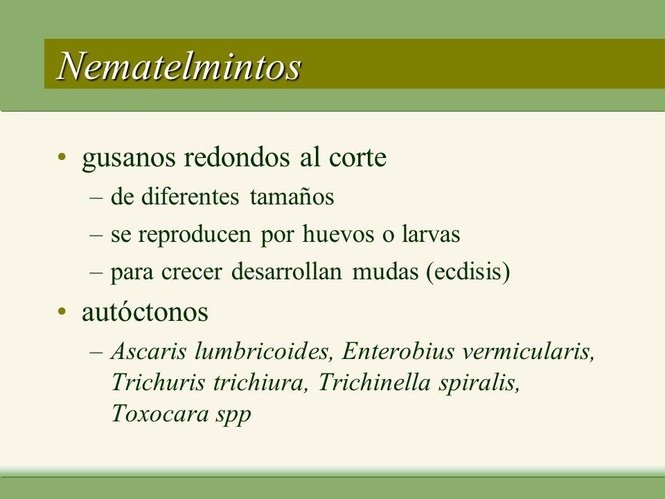 Nematelmintos gusanos redondos al corte –de diferentes tamaños –se reproducen por huevos o larvas –para crecer desarrollan mudas (ecdisis) autóctonos –Ascaris lumbricoides, Enterobius vermicularis, Trichuris trichiura, Trichinella spiralis, Toxocara spp