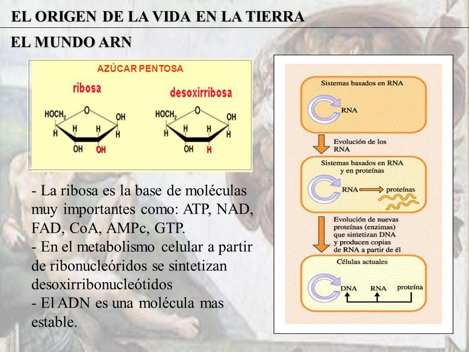 EL ORIGEN DE LA VIDA EN LA TIERRA EL MUNDO ARN AZÚCAR PENTOSA - La ribosa es la base de moléculas muy importantes como: ATP, NAD, FAD, CoA, AMPc, GTP.