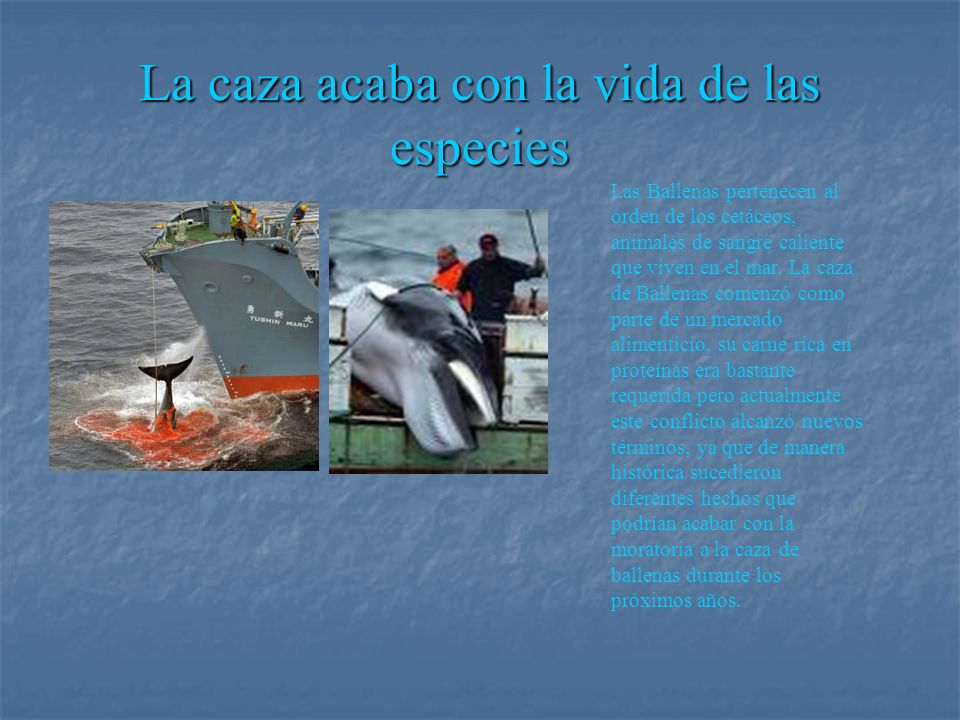 La caza acaba con la vida de las especies Las Ballenas pertenecen al orden de los cetáceos, animales de sangre caliente que viven en el mar. La caza d
