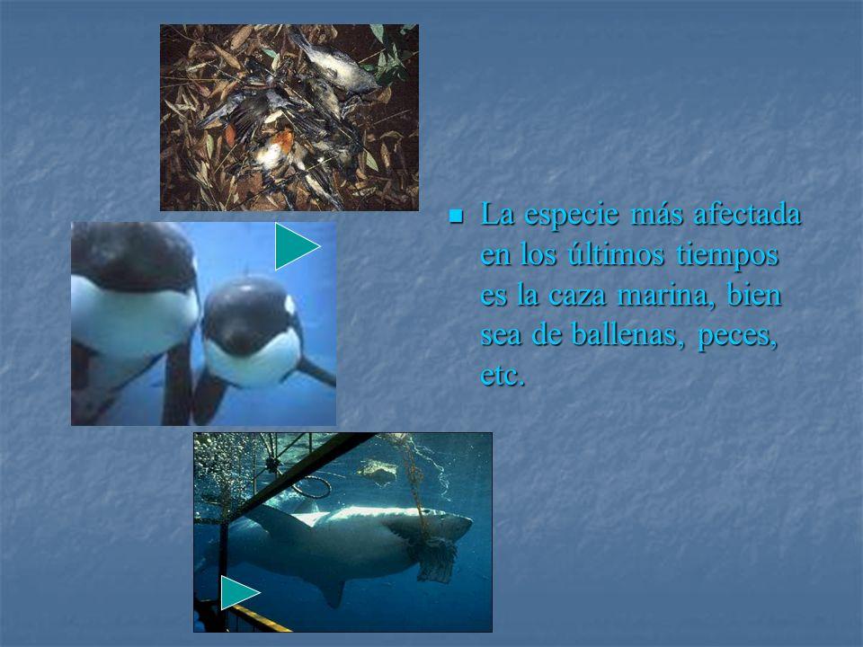 La especie más afectada en los últimos tiempos es la caza marina, bien sea de ballenas, peces, etc. La especie más afectada en los últimos tiempos es