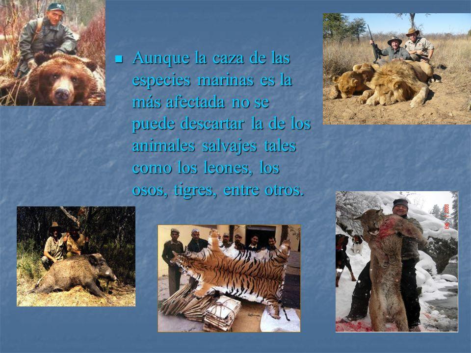 Aunque la caza de las especies marinas es la más afectada no se puede descartar la de los animales salvajes tales como los leones, los osos, tigres, e