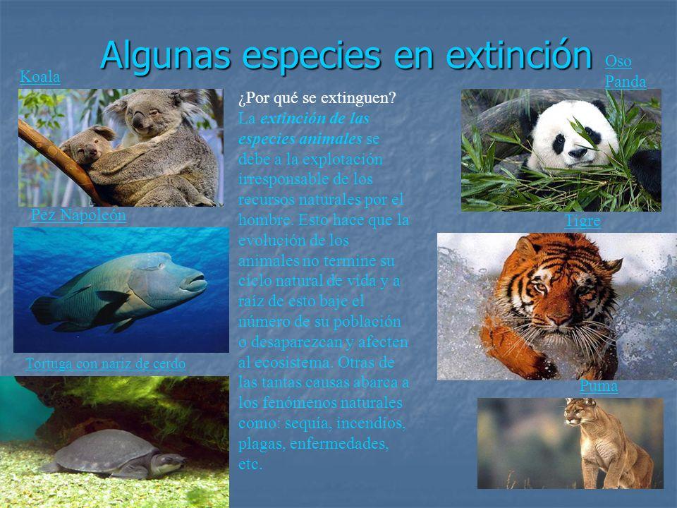 Algunas especies en extinción Koala Pez Napoleón Tortuga con nariz de cerdo Oso Panda Tigre Puma ¿Por qué se extinguen? La extinción de las especies a