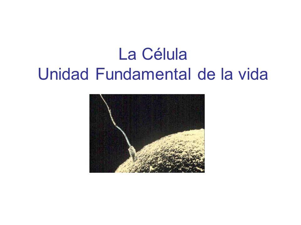 El descubrimiento de la célula Robert Hooke (siglo XVII) observando al microscopio comprobó que en los seres vivos aparecen unas estructuras elementales a las que llamó células.