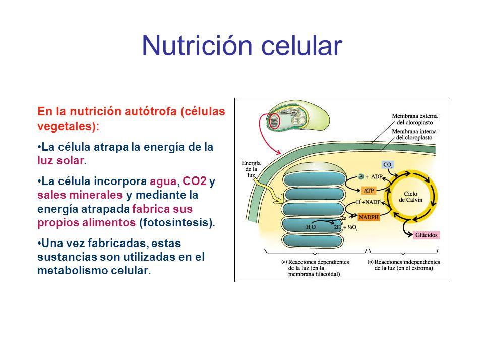 Nutrición celular En la nutrición autótrofa (células vegetales): La célula atrapa la energía de la luz solar. La célula incorpora agua, CO2 y sales mi