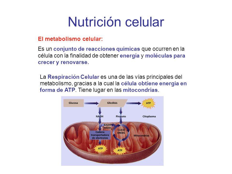 Nutrición celular El metabolismo celular: Es un conjunto de reacciones químicas que ocurren en la célula con la finalidad de obtener energía y molécul