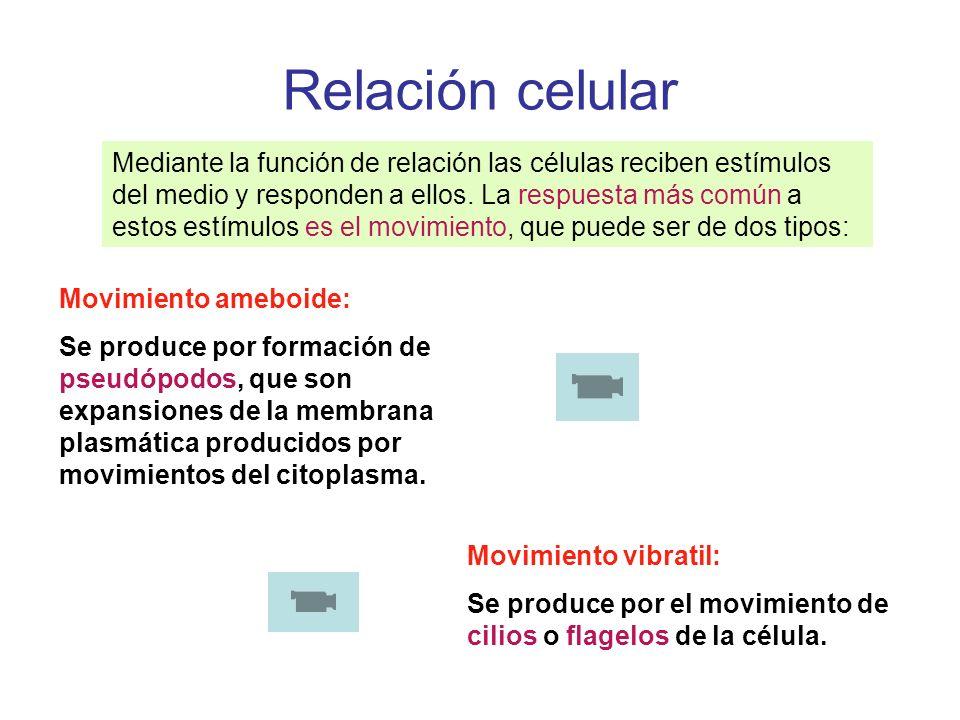 Relación celular Mediante la función de relación las células reciben estímulos del medio y responden a ellos. La respuesta más común a estos estímulos