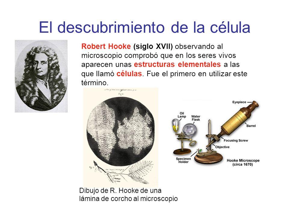 El descubrimiento de la célula Robert Hooke (siglo XVII) observando al microscopio comprobó que en los seres vivos aparecen unas estructuras elemental