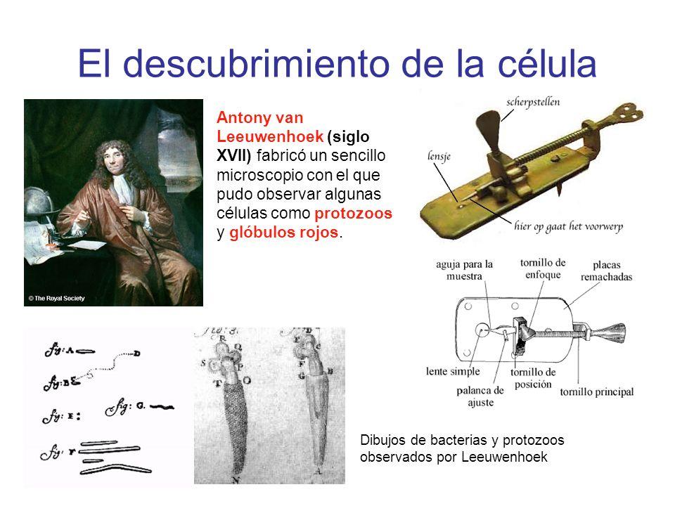 El descubrimiento de la célula Antony van Leeuwenhoek (siglo XVII) fabricó un sencillo microscopio con el que pudo observar algunas células como proto