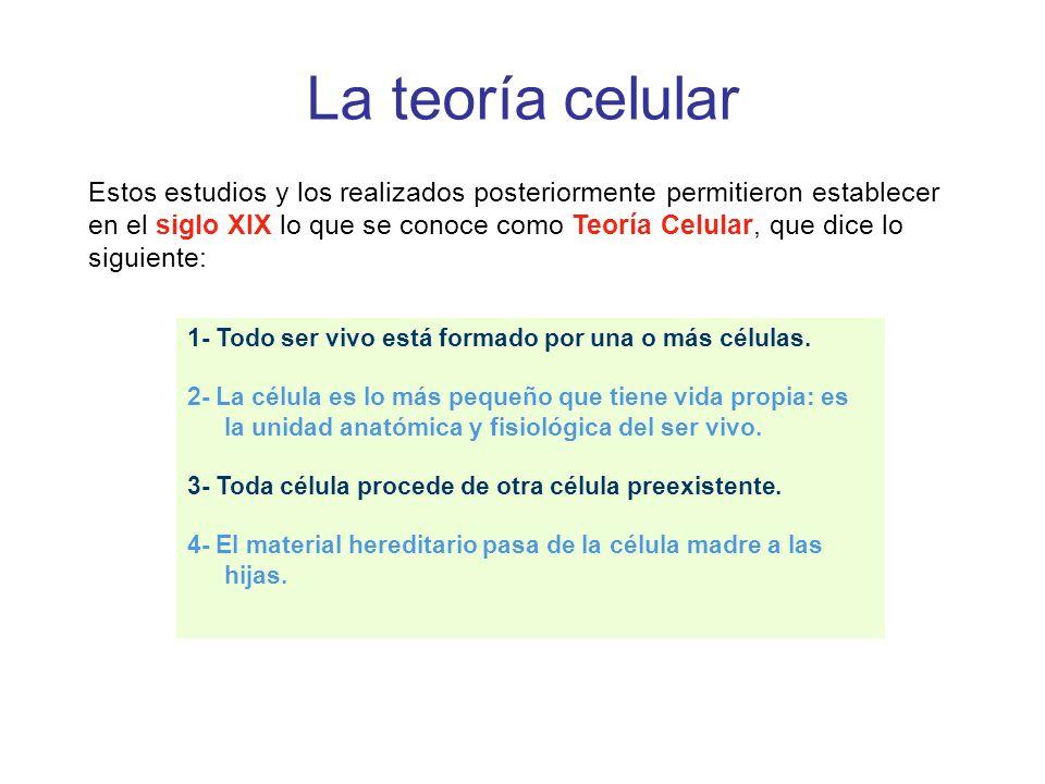 La teoría celular Estos estudios y los realizados posteriormente permitieron establecer en el siglo XIX lo que se conoce como Teoría Celular, que dice