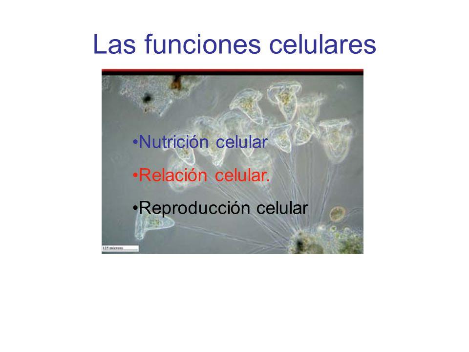 Las funciones celulares Nutrición celular Relación celular. Reproducción celular