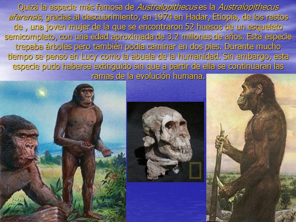 Quizá la especie más famosa de Australopithecus es la Australopithecus afarensis, gracias al descubrimiento, en 1974 en Hadar, Etiopía, de los restos