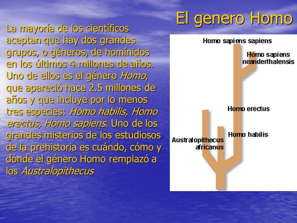El genero Homo La mayoría de los científicos aceptan que hay dos grandes grupos, o géneros, de homínidos en los últimos 4 millones de años. Uno de ell