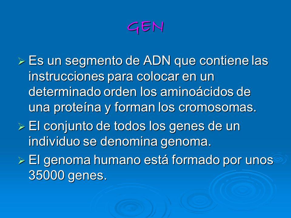 GEN Es un segmento de ADN que contiene las instrucciones para colocar en un determinado orden los aminoácidos de una proteína y forman los cromosomas.
