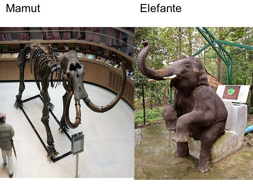 Mamut Elefante