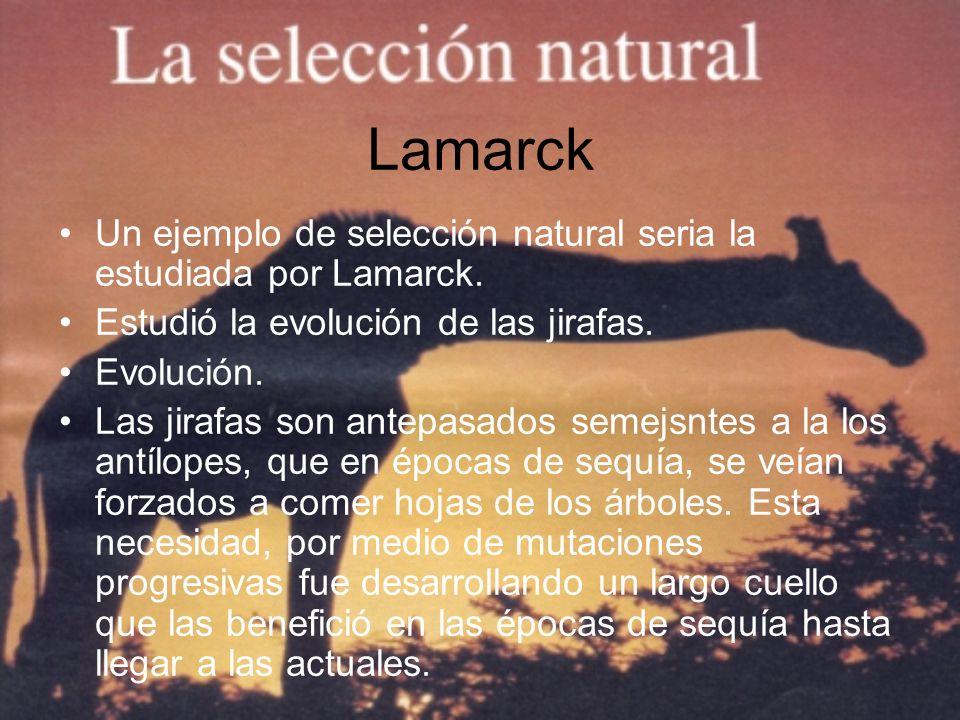 Lamarck Un ejemplo de selección natural seria la estudiada por Lamarck. Estudió la evolución de las jirafas. Evolución. Las jirafas son antepasados se