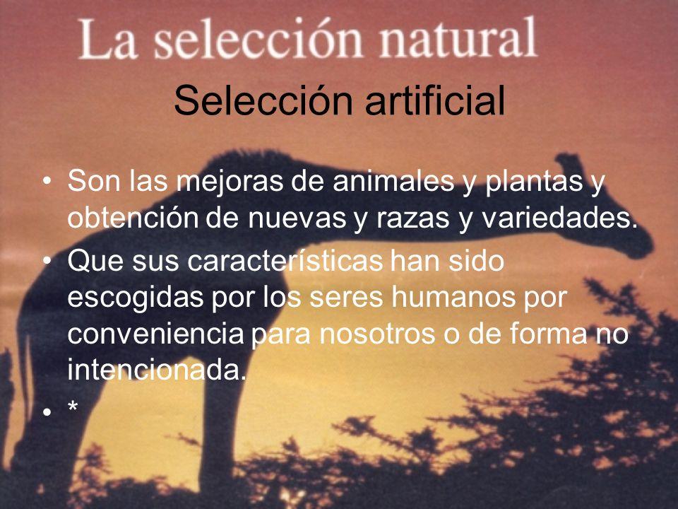 Selección artificial Son las mejoras de animales y plantas y obtención de nuevas y razas y variedades. Que sus características han sido escogidas por