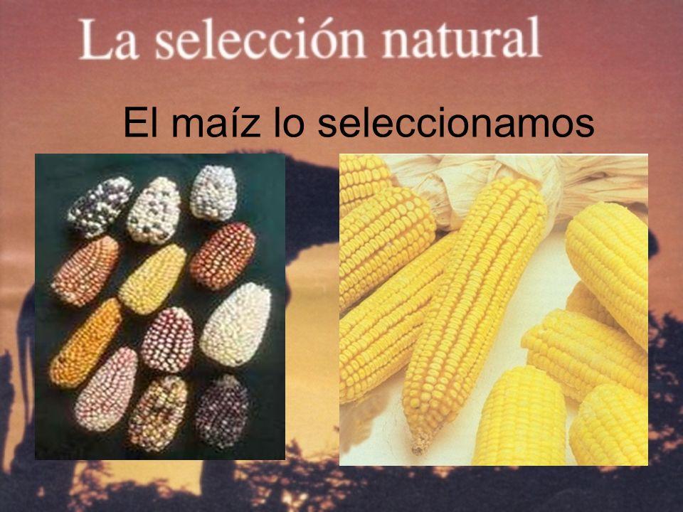 El maíz lo seleccionamos