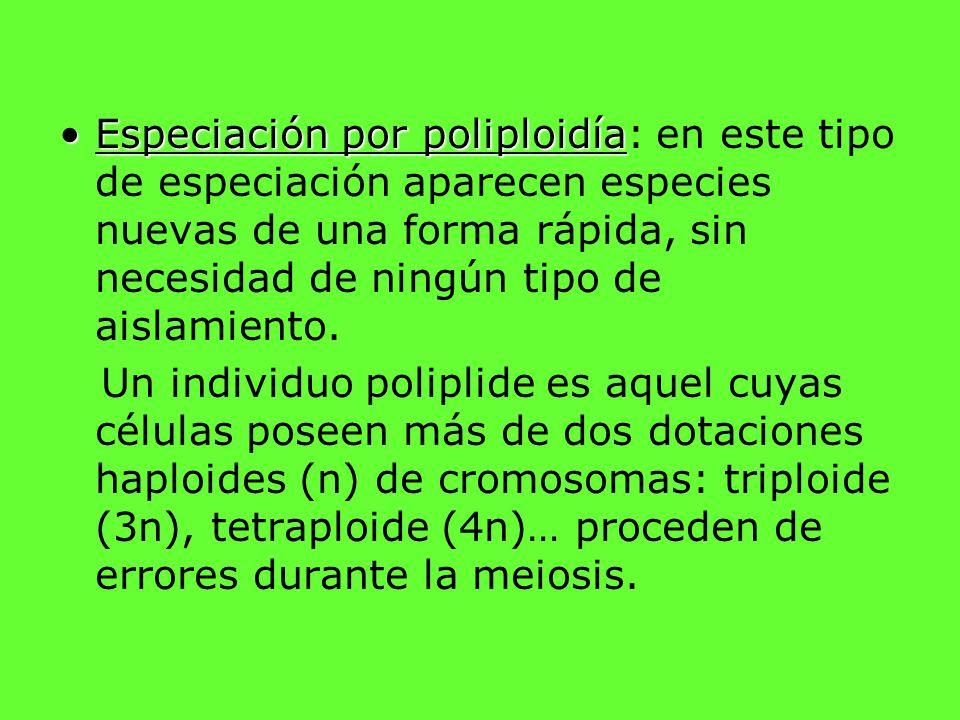 Especiación por poliploidíaEspeciación por poliploidía: en este tipo de especiación aparecen especies nuevas de una forma rápida, sin necesidad de nin