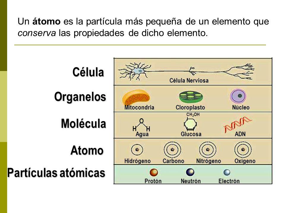 Tejido Tejido Nervioso Cerebro Sistema Nervioso Berrendo Órgano Sistema de órganos Organismo Un grupo de organismos muy similares cuya unión puede ser fértil, constituye una especie, ejemplo: el berrendo