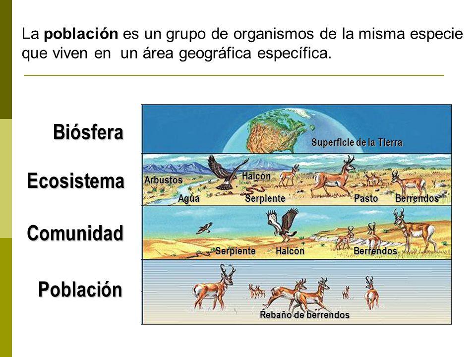 Población Rebaño de berrendos Halcón Agua Superficie de la Tierra Comunidad Ecosistema Biósfera Berrendos Halcón PastoSerpiente Arbustos Berrendos Serpiente La población es un grupo de organismos de la misma especie que viven en un área geográfica específica.