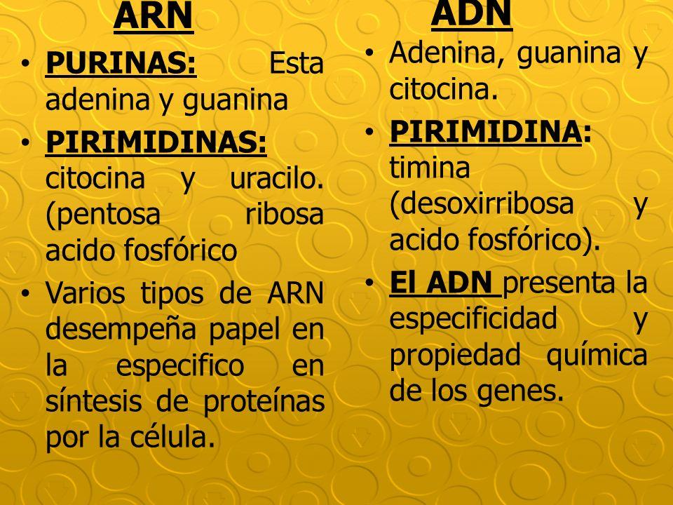 PURINAS: Esta adenina y guanina PIRIMIDINAS: citocina y uracilo. (pentosa ribosa acido fosfórico Varios tipos de ARN desempeña papel en la especifico