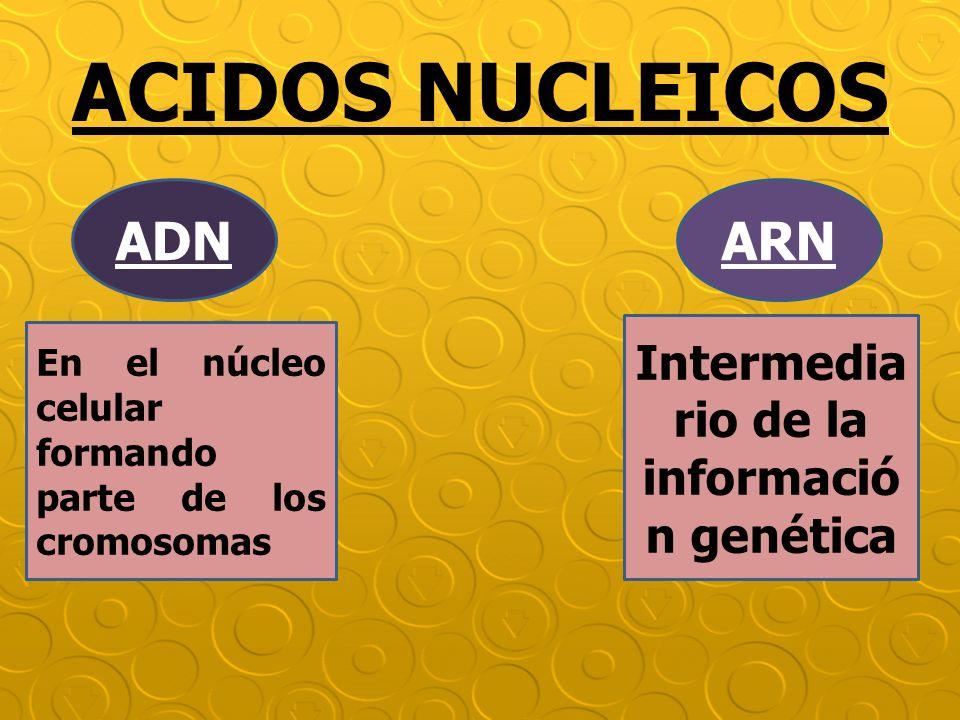 ACIDOS NUCLEICOS ADNARN En el núcleo celular formando parte de los cromosomas Intermedia rio de la informació n genética