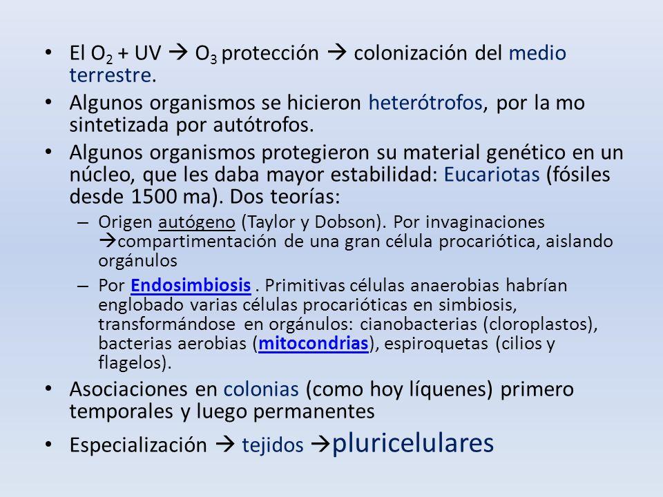 El O 2 + UV O 3 protección colonización del medio terrestre. Algunos organismos se hicieron heterótrofos, por la mo sintetizada por autótrofos. Alguno