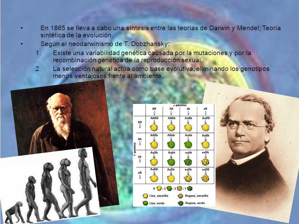 En 1865 se lleva a cabo una síntesis entre las teorías de Darwin y Mendel; Teoría sintética de la evolución. Según el neodarwinismo de T. Dobzhansky: